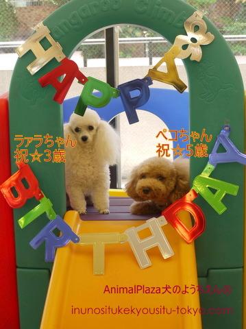 子犬のしつけ教室「犬のようちえん駒沢公園教室」今月お誕生日を迎える通園生★