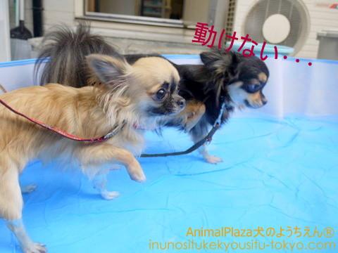 子犬のしつけ教室「犬のようちえん駒沢公園教室」プール