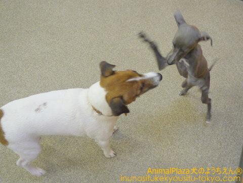 子犬のしつけ教室「犬のようちえん駒沢公園教室」イタリアン・グレーハウンドのロックくん★新しいお友達です★