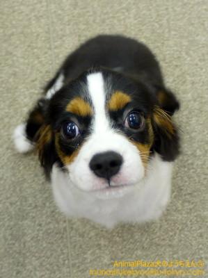子犬のしつけ教室「犬のようちえん駒沢公園教室」シエルくん