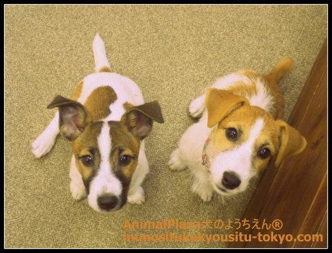 子犬のしつけ教室「犬のようちえん駒沢公園教室」ジャックラッセルテリアサラちゃん