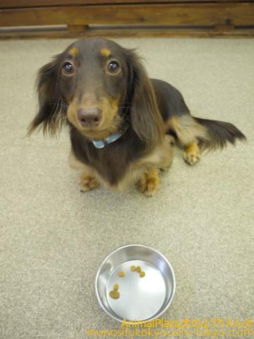 子犬のしつけ教室「犬のようちえん駒沢公園教室」ご飯前の「マテ」の練習