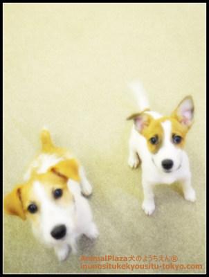 子犬のしつけ教室「犬のようちえん駒沢公園教室」ジャックラッセルテリアクレオちゃん