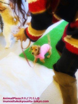 最年少ミニチュア・ダックスフントのアロハちゃんもがんばりました!