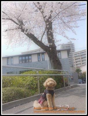 トイ・プードルのきなこちゃん。桜の木の前でおすまし♪
