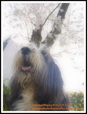 ビアテッドコリーのボビーくん。今年も元気に桜の季節を迎えることができたね♪