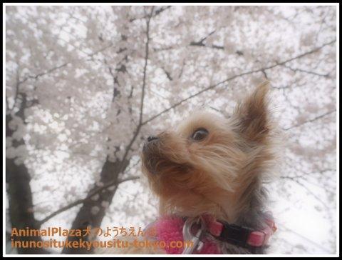 ヨークシャーテリアのアロマちゃん。きらきらお目目で桜をみつめています^^