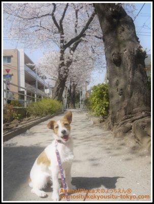 ジャックラッセルテリアの吉ちゃん。はじめて見る桜はどうですか?