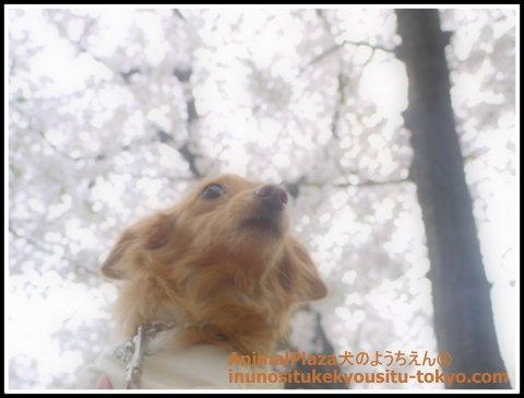 MIXのメグちゃん。桜もキレイだけどメグちゃんもかわいいよ^^