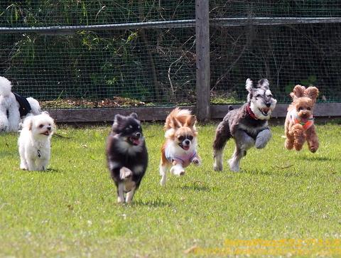小型犬のダッシュ!