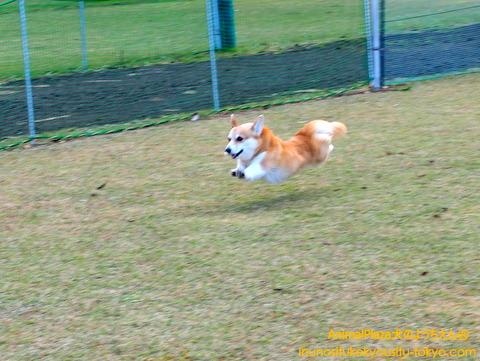 飛行犬!!ラティスちゃん!
