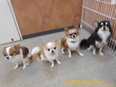 (左から)チワワのタビちゃん、ポエムちゃん、チェリーちゃん、ルルちゃん
