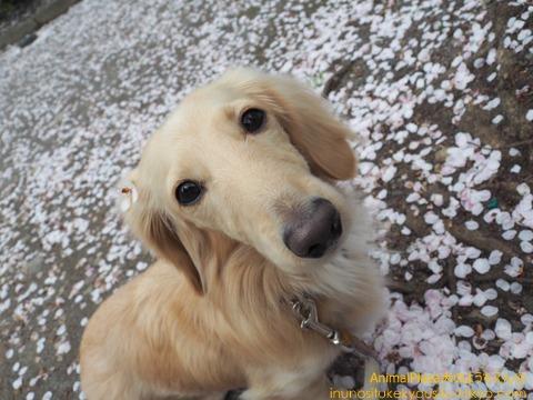 「一面桜のお花でいっぱいだね!」とライくん♪