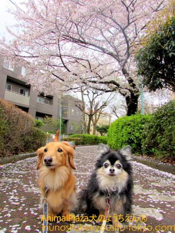 今年も春がやってきたね♪(左から )りくくん、まろくん♪