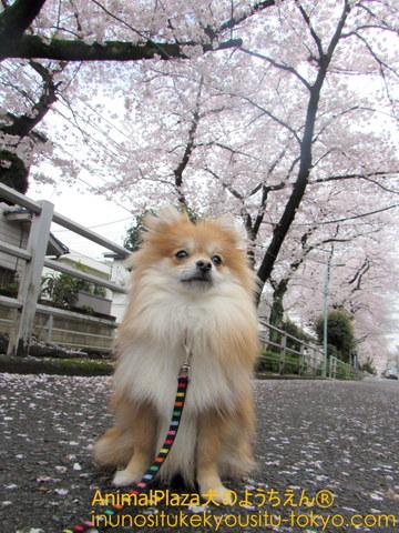 桜初体験!のポメラニアンのポタちゃん♪