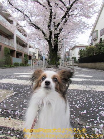パピヨンのジョンくんは桜よりごほうびに夢中?