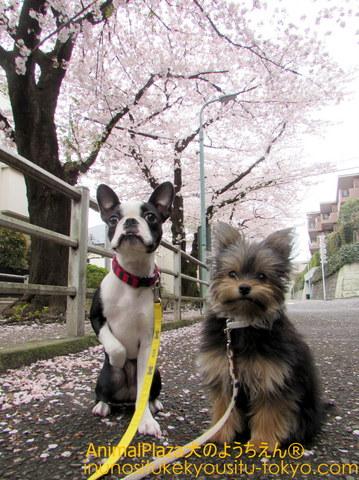 「桜もなかなか良いもんだねぇ~♪」と(左から)クロエちゃんとカボスちゃん♪