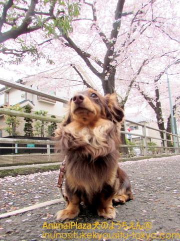 ソラちゃんも桜初体験♪