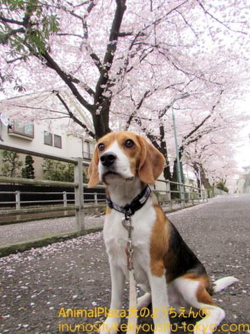 桜の美しさに見惚れている?龍之介くん♪
