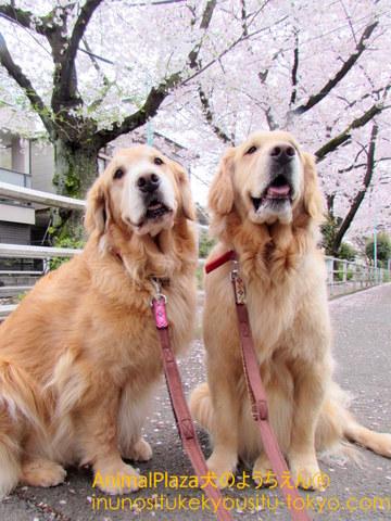 (左から)ブランケットくん「弟よ!桜の季節がやってきたぞ!」パウダーくん「いやぁ~兄さん!惚れ惚れしますねぇ」