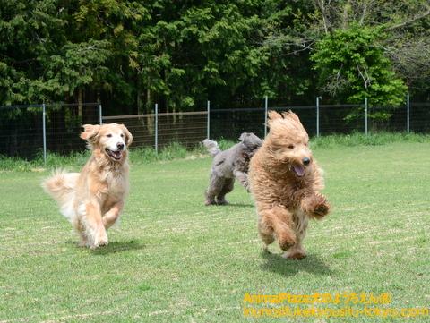 「待て待てぇ~い!」全力でかけっこする(左から)ブランケットくん、ベイリーちゃん、アンディーくん