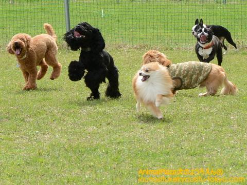 「まだまだ遊ぶよ~!」若い犬たちは大ハッスル!